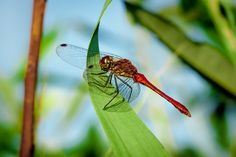 Resting Dragonfly by S.S. www.facebook.com/serge.sergio.144