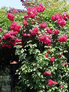 Augustus is een goede tijd om planten te stekken. Denk hierbij aan uw buxus, hortensia's, penstemon, fuchsia's en rozen. #ECOstyle #tuinkalender #augustus