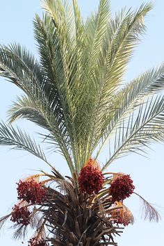 Golan Heights, Date Palm In the Fall