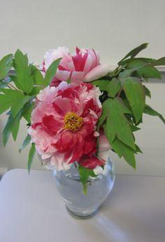This is a beautiful Japanese peony called Shima Nishiki.