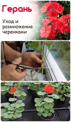 Succulent Gardening, Succulents Garden, Garden Plants, Indoor Plants, House Plants, Organic Gardening, Growing Flowers, Growing Plants, Morning Glory Plant