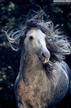 This dapple gray horse appears to be having a bad hair day - Equine Photography by Ekaterina Druz