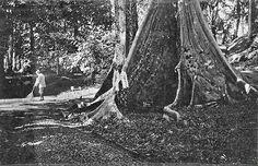 Holle boom, mogelijk in 's Lands Plantentuin te Buitenzorg. 1926-1929