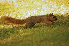 red cheeked squirrel running - Google 検索