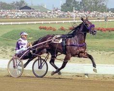 Niatross, considered to be the greatest standardbred by many, was the first horse to win over $2 million in earnings. His star career included Horse of the Year in 1979 and 1980, as well as the  1980 Pacing Triple Crown win. #HarnessRacing #DarkHorseBet