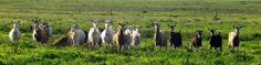 Research & Development | Projects & Policies | Goat Industry Council of Australia  #goatvet