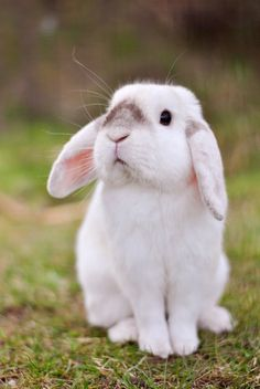 In the event you are searching for a furry companion that is not only cute, but very easy to keep, then look no further than a family pet bunny. Cute Little Animals, Cute Funny Animals, Cute Dogs, Cute Baby Bunnies, Lop Bunnies, Fluffy Bunny, Pet Rabbit, Cute Animal Pictures, Cute Creatures