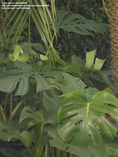 split leaf philodendron, swiss cheese plant