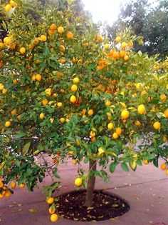 meyer lemon though ours does not quite look like this at all in fact ryan and i have our. Black Bedroom Furniture Sets. Home Design Ideas