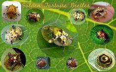 Amazing Golden Tortoise Beetles