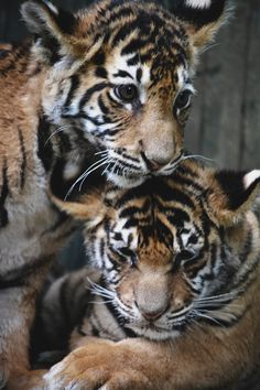 envyavenue:  Tiger Cubs