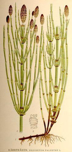 Prêle des marais Equisetum palustre