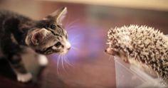 キュン死必至!!!子猫とハリネズミの初対面の出会いが可愛すぎると話題に