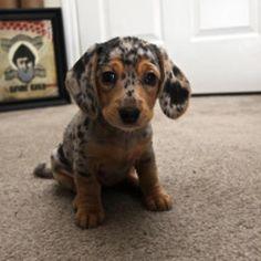cute dappled dachsund puppy