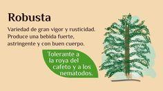 Especies y variedades de la planta del café en México