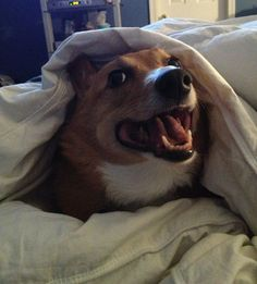 Rise and shine #Corgi Nation! Oh yeah this is Russell for sure!!