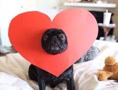 Pug dog wearing a heart shape cutout on face