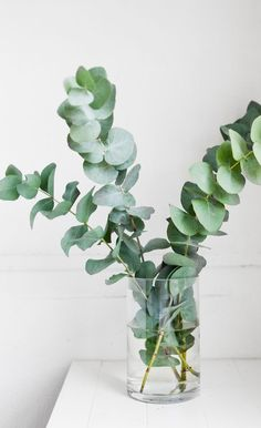 Eucalyptus essential oil is anti-inflammatory, antispasmodic, deodorizing and acts as an decongestant. Eucalyptus oil also helps with muscle fatigue, pain relief and Indoor Garden, Indoor Plants, Home And Garden, Garden Hose, Bouquet D'eucalyptus, L Eucalyptus, Eucalyptus Plant Indoor, Plantas Indoor, Belle Plante