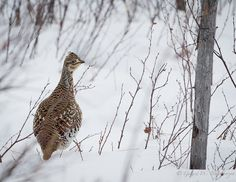 "Sharp-tailed Grouse (Tympanuchus phasianellus), small group of three birds observed in a low shrub area in the old Mitsu burn area east of Slave Lake, Alberta, Canada.    [Press ""L"" or left click to view on black]    6 January, 2013.    Slide # GWB_2013010 Siêu thị điện máy HC giá rẻ chất lượng hàng đầu việt nam  http://hc.com.vn/dien-tu/tivi-led.html"