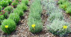 Empezamos una serie de artículos que los considero fundamentales, para dar a conocer las plantas aromáticas, y para que entre todos les hagamos un lugar en nuestro huerto o jardín, ya que...