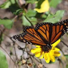 'Flutter-by' on the yellow flower!