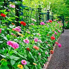 zinna bed - so easy to direct seed
