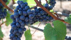 Uva Pinot Noir - Sofisticação Francesa. Vinhos com aromas de frutas vermelhas (cereja, morango, framboesa), florais (violetas, rosas) e, no caso de maturação, amadeirados. A acidez se destaca na boca, enquanto tanino e álcool são moderados. Vai bem com peixes.