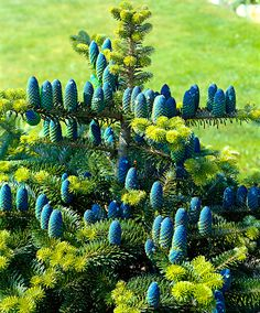 Korean Fir | Trees and Shrubs from Bakker Spalding Garden Company