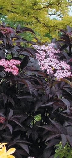 Black Beauty is a great candidate if you are looking for a tall, dark and handsome selection for your landscape! Dark purple foliage, with lovely soft pink blooms in spring.