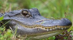 American Alligators have between 74-80 teeth at any given time. Gators can go through 3,000 teeth in their lifetime. On Bald Head, they can be seen in the various freshwater ponds. Forest Habitat, Bald Head Island, Alligators, Bald Heads, Ponds, Wildlife Photography, Habitats, Fresh Water, Close Up