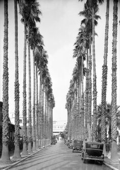 This avenue of Mexican fan palms, the earliest of its kind in Los Angeles, was planted in the 1870s, and was famous as a curiosity in the pre-automobile era. Seen here in 1930, the avenue is now part of the Orthopaedic Hospital complex near Adams Blvd and Flower St. Courtesy of the USC Libraries - Dick Whittington Photography Collection.