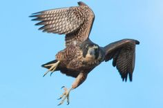 Learn Crazy Facts About Peregrine Falcons!