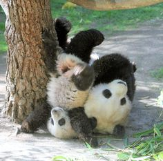 Panda bears playing around.they play kind of rough, don't they? Cute Baby Animals, Animals And Pets, Funny Animals, Panda Love, Cute Panda, Panda Panda, Funny Animal Photos, Funny Pictures, Animals Photos