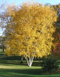 Paper Birch grows rapidly with single or multiple trunks. The leaves are oval and pointed, light yellow-green when young and maturing mid- green with lighter undersides. Garden Trees, Trees To Plant, Landscape Nursery, Tree Seedlings, Baumgarten, Spruce Tree, Shade Trees, Deciduous Trees, Growing Tree