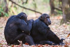Separating young chimps from their mothers causes lasting damage to their ability to form bonds