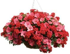 Wildfire | Proven Winners-2 Supertunia Bermuda Beach and 2 Tukana Scarlet Star verbena hybrid
