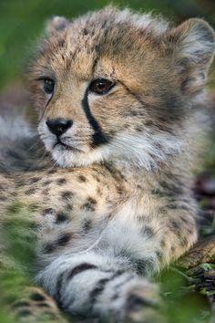 bigcatkingdom: Lying cheetah looking on the side (by Tambako the Jaguar)