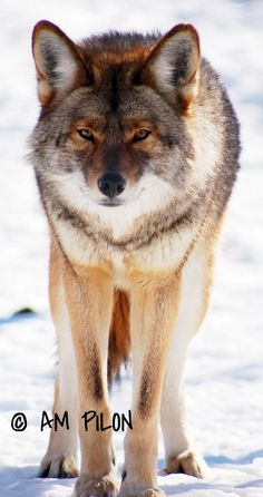23 Best Coyotes Red Or Yellow Images Coyotes Wolves Bad Wolf