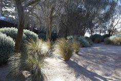 Fiona Brockhoff Design - screen for back of house - Allocasuarina littoralis, grasses, Austrostipa Stipoides