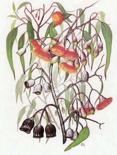 Vintage print AUSTRALIAN GUM TREE with Red Flowers, Botanical print