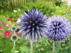 Kuletistel (ekte kuletistel). 90-120cm. Lyseblågrå blomster. August-september