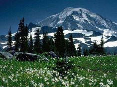 Avalanche lilies and buttercup flowers thrive at Spray Park, Mount Rainier National Park, Washington, USA. Spray Park, Christian Poems, Bob Ross Paintings, Mount Rainier National Park, University Of Washington, Washington Usa, Relaxing Music, Calming Music, Beautiful Images