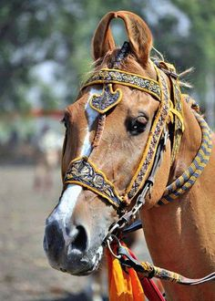 Senior Kathiawari horse, Goldy. photo: Acharyashree Ghanshyamji. Kathiyawadi Horse, Horse Love, Majestic Horse, Beautiful Horses, Pretty Horses, Animals Beautiful, Horse Breeds, Cat Breeds, Marwari Horses