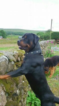Rottweiler. Reminds me of my Brutus. He loves to stand on our fence and great people.