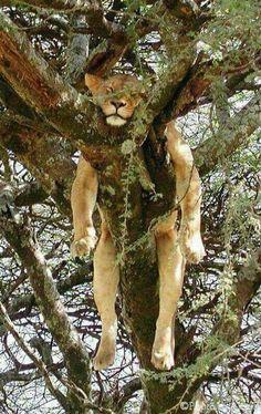 enfin un endroit tranquille, qui a dit que le confort irait avec déjà ?   Pas de petites tyrannies de la part des lionnes ( une vie de lionne = vivre avec trop de lionnes )   Pas d'enquiquineur de lion qui rugit qu'il faut faire pour lui a 30 mètre a la ronde, vas donc pisser tout les 10 mètres....   Pas de lionceaux qui te réveille la nuit   Ah - #Ah #avec #confort #de #déjà #denquiquineur #des #dit #donc #endroit #enfin #Faire #faut #irait #la #le #les #lion #lionceaux #lionne #lionnes…