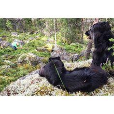 Leijonakuninkaat pitää vahtia marjastajista. #pooch #mutt #lionking #fb #mustikka