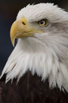 Birds of Prey - Raptors - North American Bald Eagle - by Chris Humphries Eagle Images, Eagle Pictures, Beautiful Birds, Animals Beautiful, Cute Animals, Owl Bird, Pet Birds, Bold Eagle, North American Animals