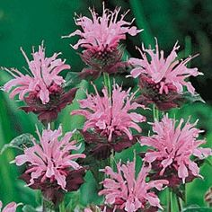 Marshalls Delight Monarda Bee balm is one of my favorites for its wonderful scent.