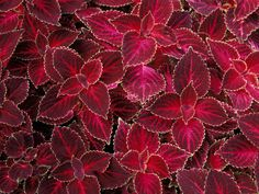 coleus | Flowers Wallpapers - Download Free Coleus Plants Wallpapers, Photos ...