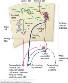 deep nucleus에 대한 이미지 검색결과